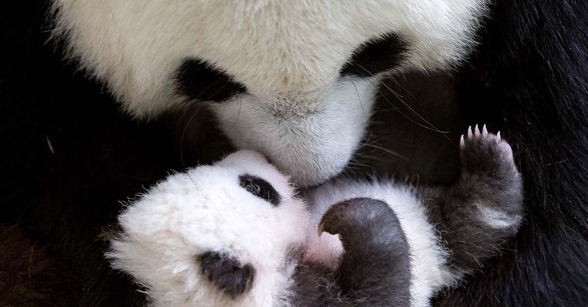 berlin panda zwillinge