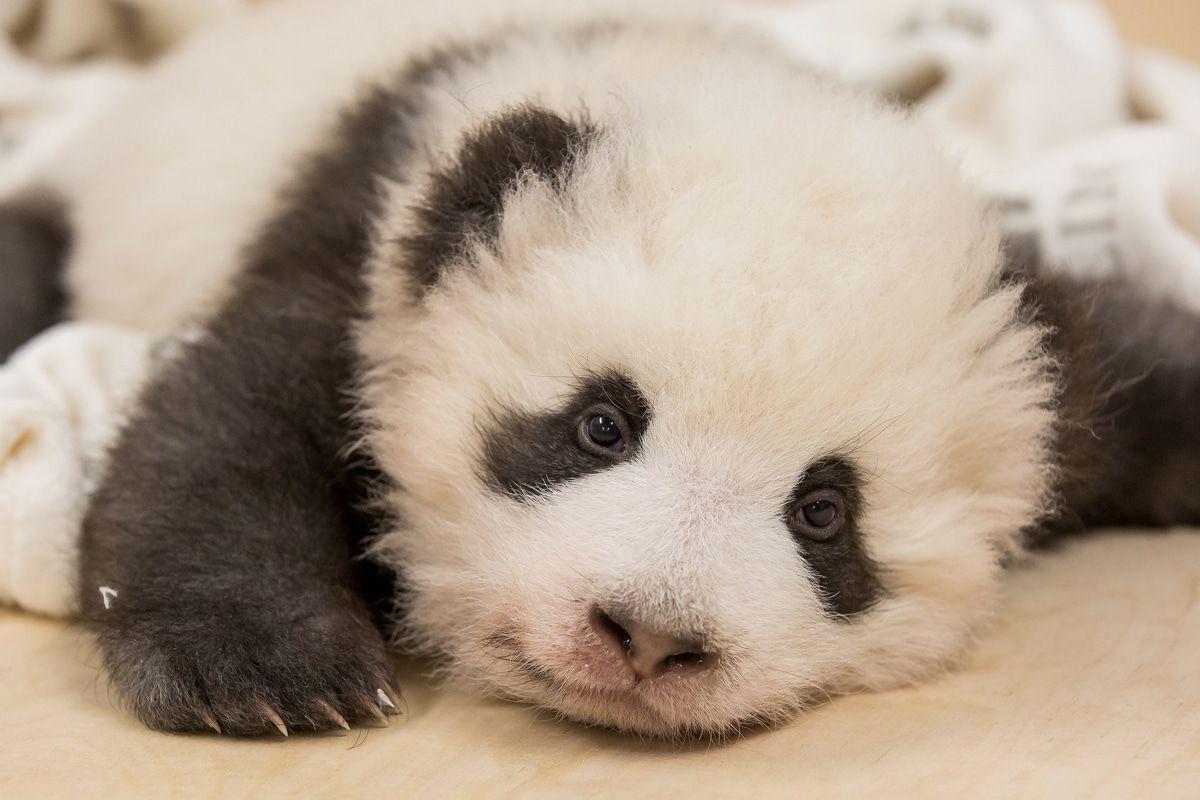 Süüüüß! Berliner Pandas mit Schluckauf - Neue Bilder!
