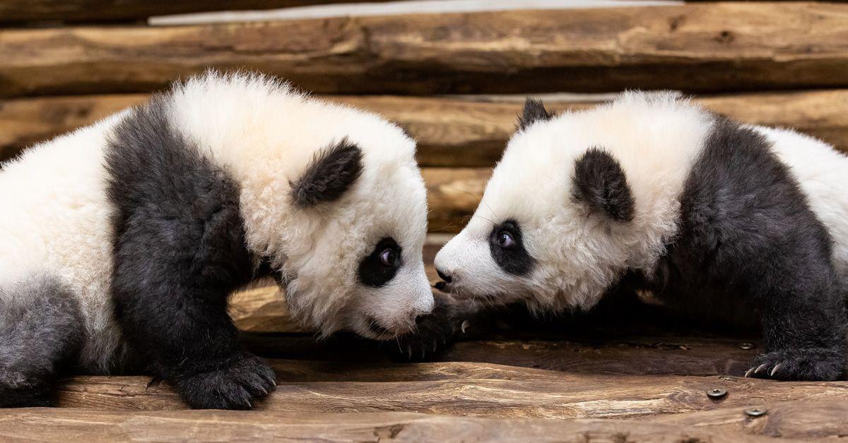 Neues von den Berliner Panda-Jungs