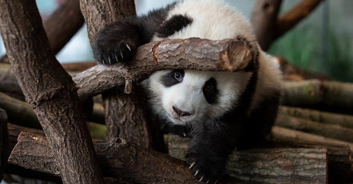 Panda-Zwillinge machen ersten Ausflug