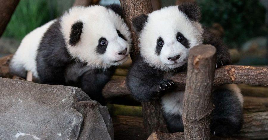 Panda-Zwillinge machen hier ihren ersten Ausflug nach draußen