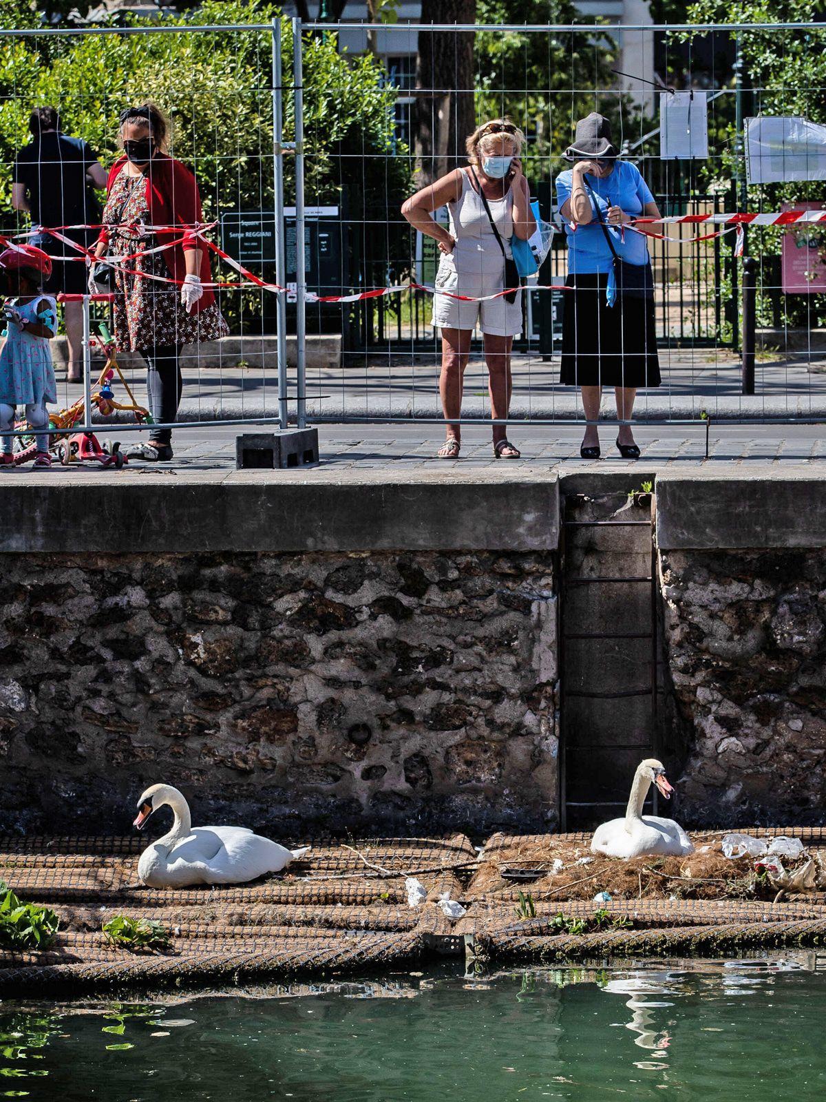Dieses Schwanenpaar mit Küken begeistert ganz Paris