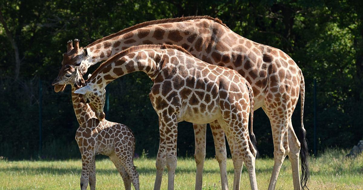 Henri ist los: Erster Ausflug von Berliner Baby-Giraffe