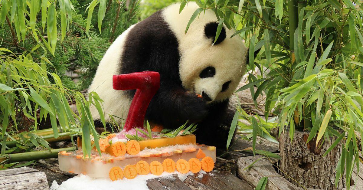 Meng Meng in süßem Video: Eine Torte zum 7. Geburtstag!