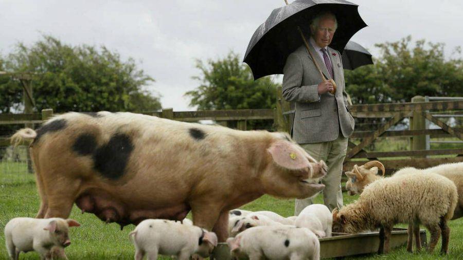 Prinz Charles bei seinem Besuch im Cotswold Farm Park. (hub/spot)