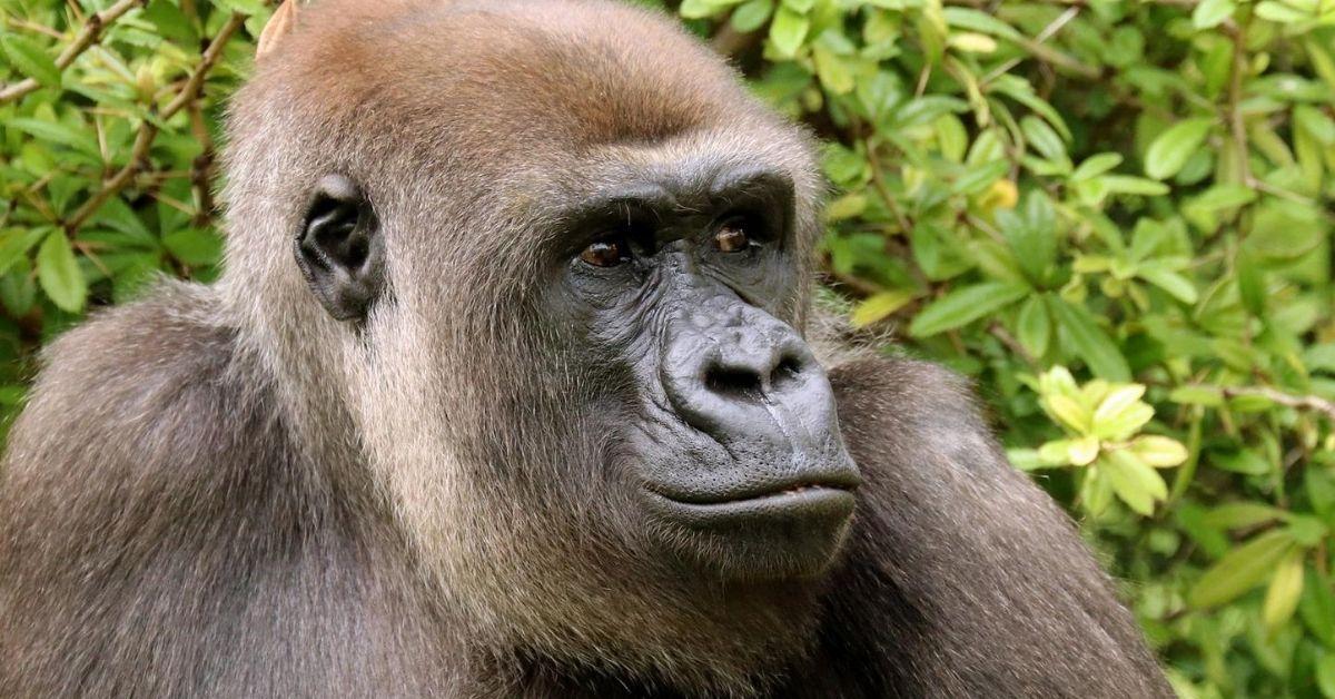 Zoo Berlin: Gorilla-Dame erwartet Nachwuchs!