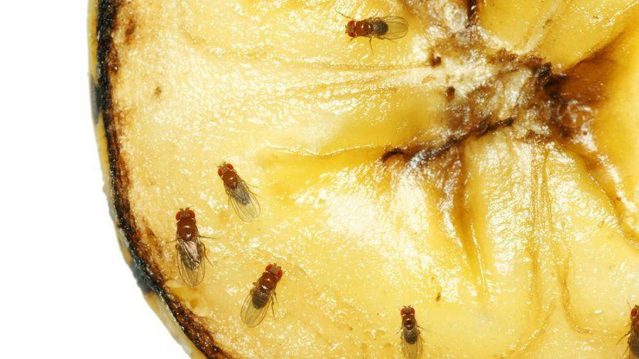 Fruchtfliegen lieben Obst und werden von dem Geruch angelockt. (amw/spot)