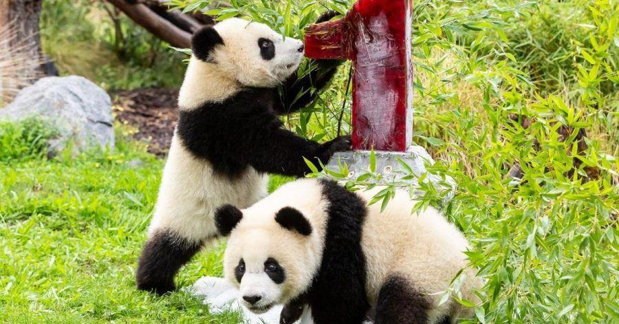 Panda-Zwillinge im Zoo Berlin feiern 1. Geburtstag