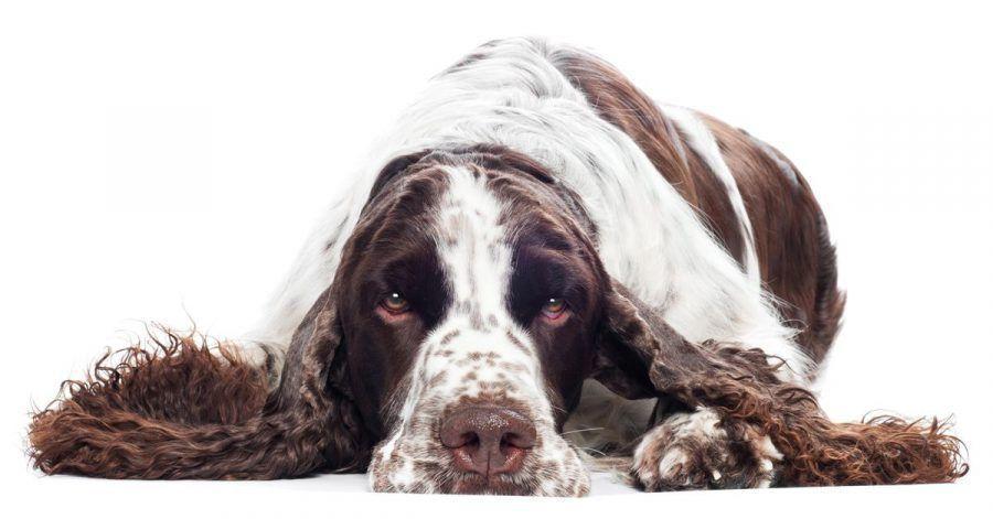 Dieser Hund zeigt, wie das mit der Gesichtsmaske richtig geht