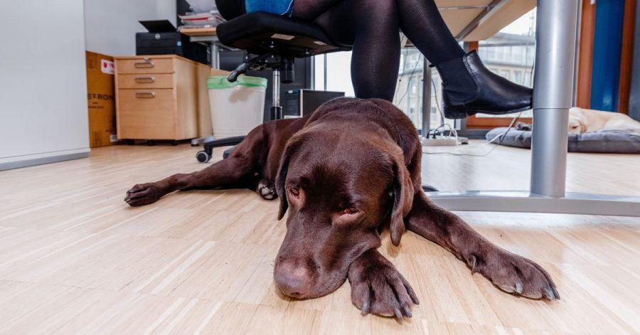 Wer seinen Hund mit ins Büro nimmt, sollte auf Gefahrenquellen achten. Dazu gehören Kabel, für Tiere giftige Pflanzen oder herumliegende Schokolade.