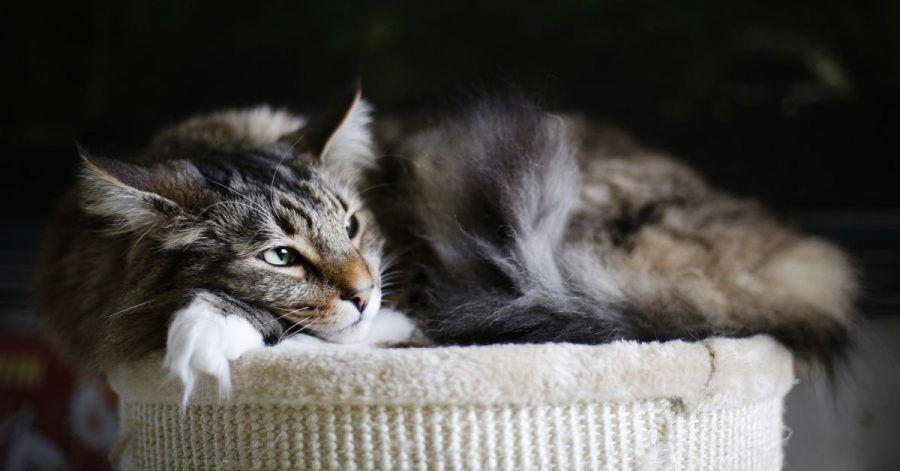 Wenn sich die Katze nicht mehr so gerne bewegt, könnte sie unter Arthrose leiden. Die Gelenkerkrankung ist zwar nicht heilbar, aber der Tierarzt kann ihr Schmerzmittel verordnen.