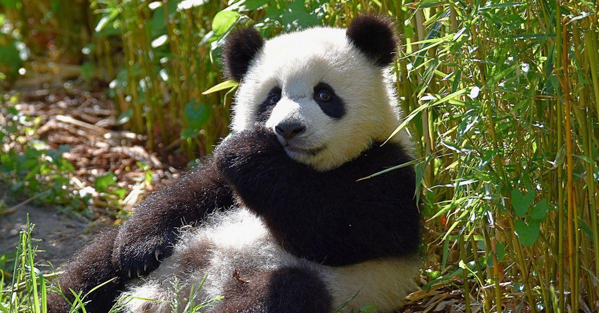 Was machen eigentlich die Panda-Zwillinge im Berliner Zoo?