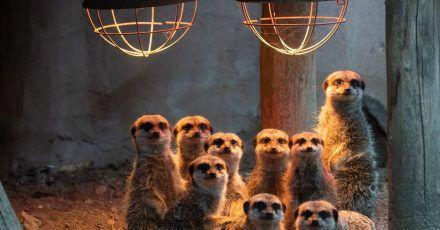 Erdmännchen im Zoo Hannover unter einer Wärmelampe.