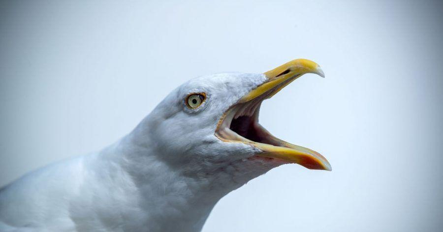 Eine freche Möwe wartet auf Essensreste - Stralsund geht nun mit einem neuen Verbot gegen das Füttern der Tiere vor.