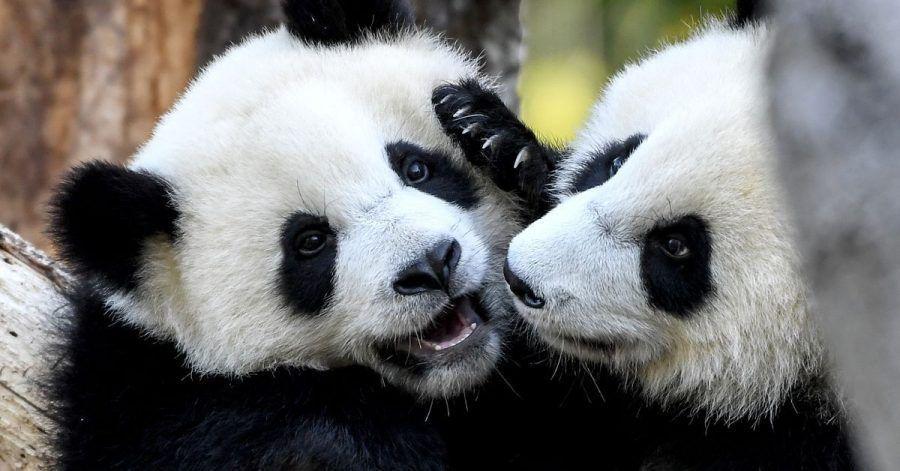 Die Pandabär-Zwillinge Pit und Paule haben ihren ersten Geburtstag gefeiert.