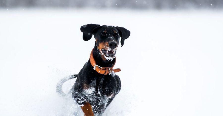 Bei einer dichten Schneedecke können Bälle beim Spielen mit Hunden tief einsinken. Beim Packen nehmen die Tiere dann viel Schnee mit auf. Mit Frisbee-Scheiben für Hunde oder federleichten Bällen kann man das verhindern.