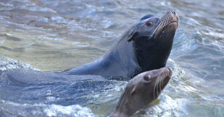 Die Küstenstraße im neuseeländischen Dunedin soll für einen Monat zum Schutz einer Seelöwin und ihres neugeborenen Jungen gesperrt werden.