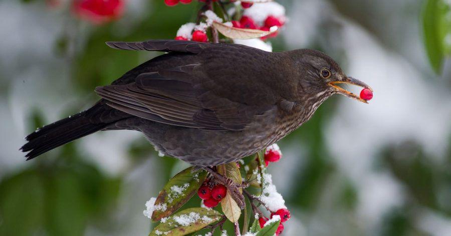 Beerensträucher im Garten sind eine gute Ergänzung für den Nahrungsplan der Vögel im Winter.