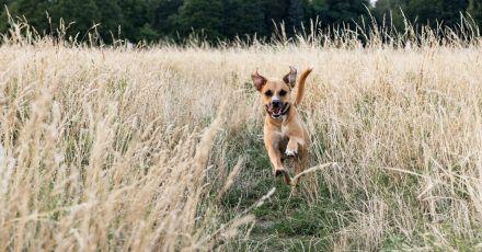 Damit der Hund schnell zurückkommt, können ungewöhnliche und positiv besetzte Signal-Worte als Rückruf-Kommando helfen.