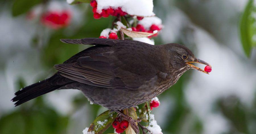 Beerensträucher imGarten sind eine gute Ergänzung für den Nahrungsplan der Vögel im Winter.