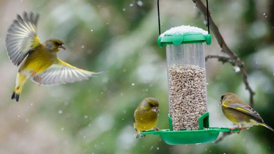 Heimische Vogelarten wie der Grünfink brauchen im Winter Hilfe bei der Futtersuche. (Symbolbild) (ncz/spot)