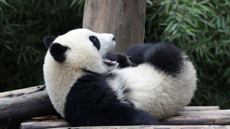 Video: Anhängliches Panda-Baby wird zum YouTube-Hit