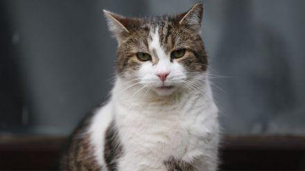 """Video: ,,Britain's First Cat"""" Larry feiert 10-jähriges Dienstjubiläum"""