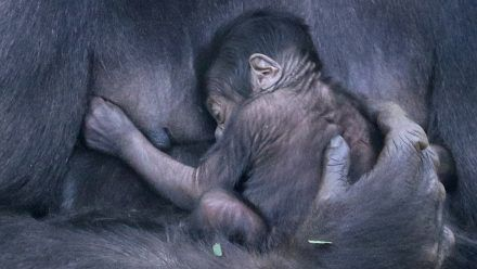 Erstes Video vom süßen Berliner Gorillababy!