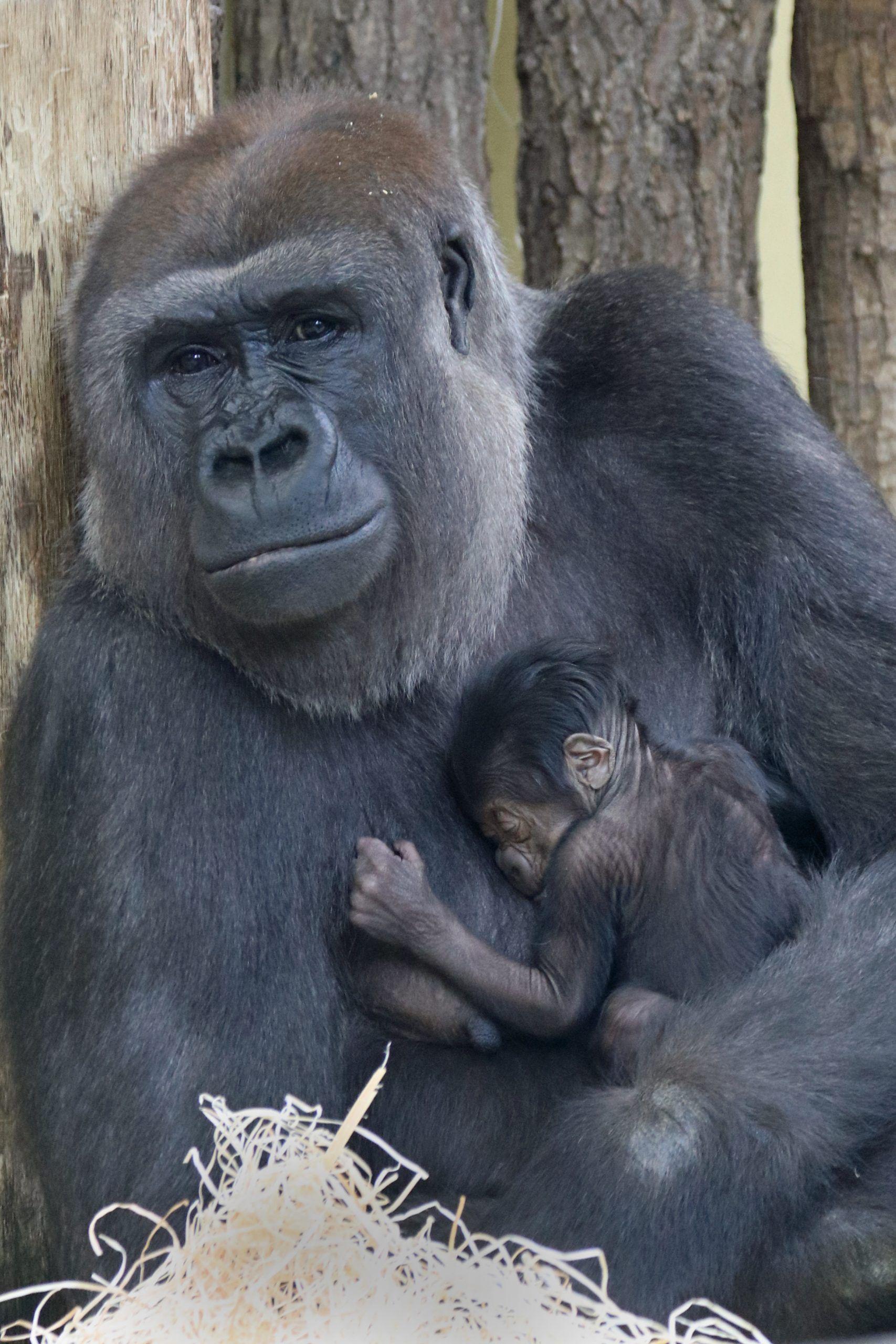 Affenbaby: Gorillas im Zoo Berlin haben Nachwuchs bekommen