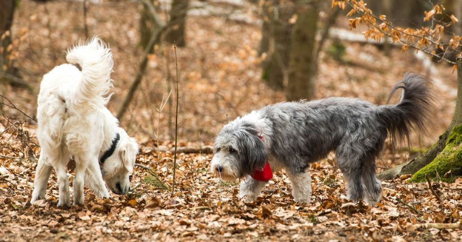 Interpretationsspielraum: Auch Rasse und Wesen eines Hundes können die Art und Weise, wie er sein Rute bewegt, beeinflussen.