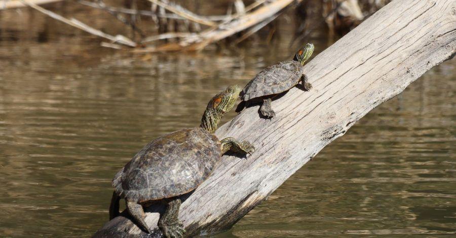 Wer sich mit dem Paddelboot auf den Rio Grande traut, sieht oft Schildkröten, die sich auf Ästen oder Felsen wärmen.