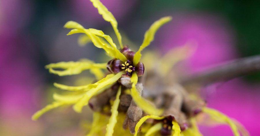 Wie dünne Fäden hängen die gelben Blütenfäden der Zaubernuss im Winter an den noch kahlen Ästen.