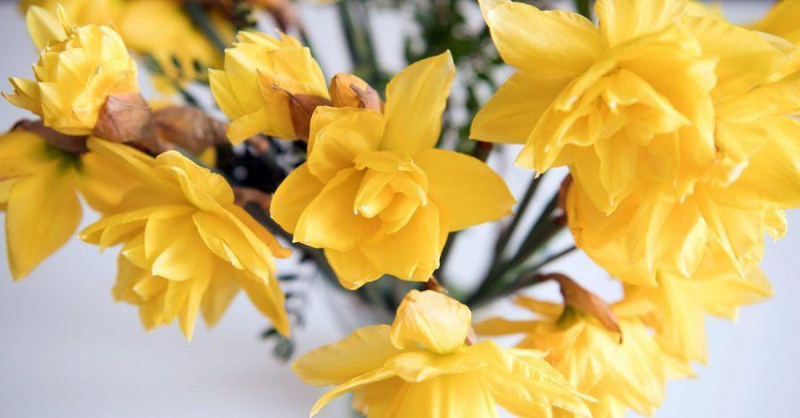 Narzissen sollten immer erst mal alleine in eine Vase kommen - und erst nach ein paar Stunden mit anderenPflanzen kombiniert werden. Sonst lassen sie diese welken.