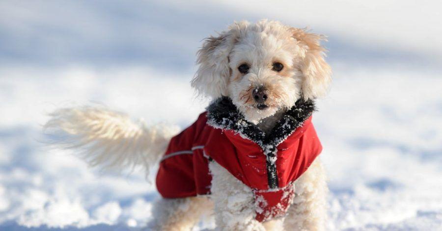 Haaröl verhindert, dass am Hundefell Schnee haften bleibt und klumpt.