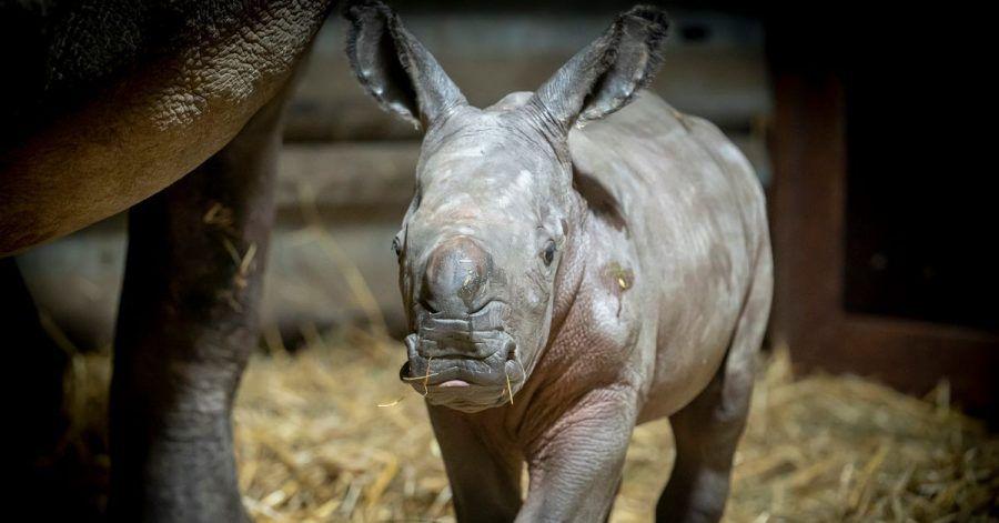 Das Breitmaulnashorn-Baby in Hodenhagen hat schon einen Namen: Salma.