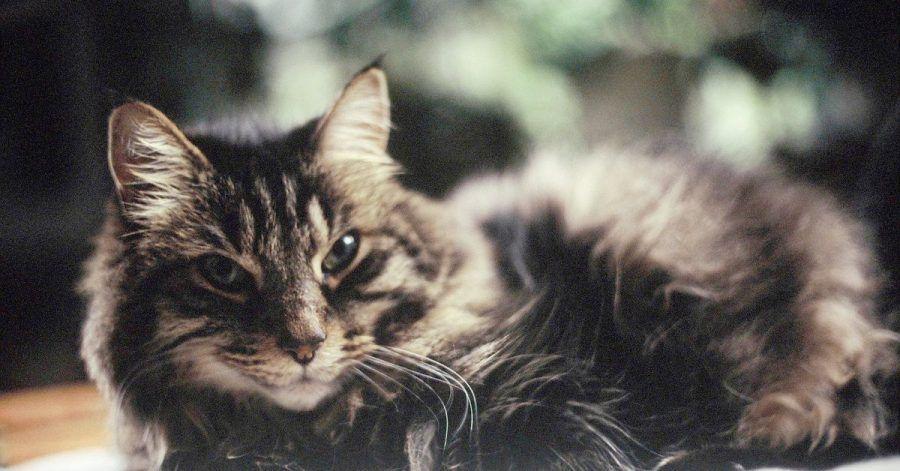 Nicht zu nahe kommen! Wer sich in Corona-Quarantäne befindet, sollte Abstand zu seiner Katze halten, um sie nicht anzustecken.