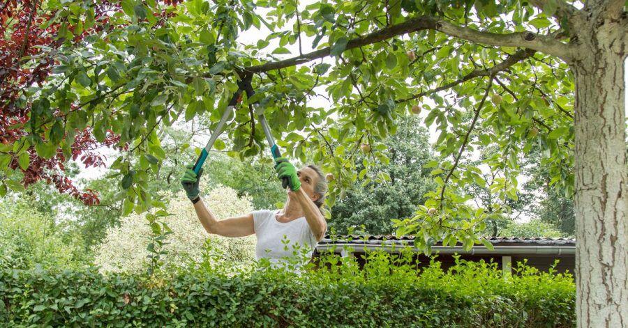 Äste, die in den eigenen Garten ragen, darf man abschneiden. Allerdings sollte man das mit dem Nachbarn vorher absprechen.