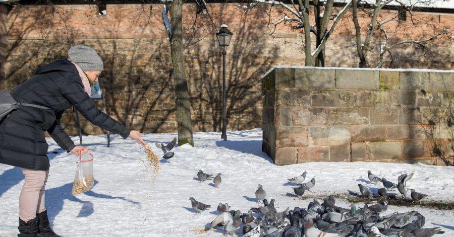 Claudia Schneider füttert vor der Nürnberger Stadtmauer Tauben. Die Corona-Krise und auch die Kälte setzen den Stadttauben zu. Die Stadt hat Ehrenamtlichen eine Ausnahmegenehmigung vom allgemeinen Fütterungsverbot erteilt.
