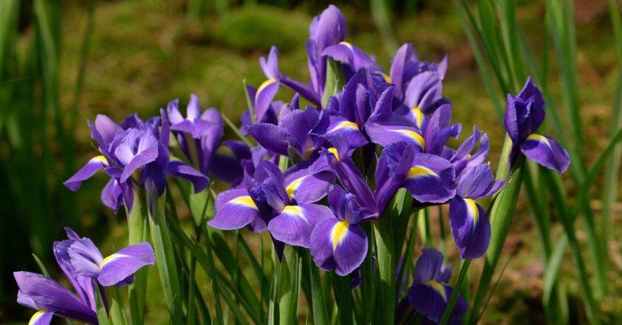 Viele Schwertlilien (im Bild: Iris-Hollandica-Hybride) tragen leuchtende Farben - sie sind schließlich auch nach der Göttin des Regenbogens benannt.