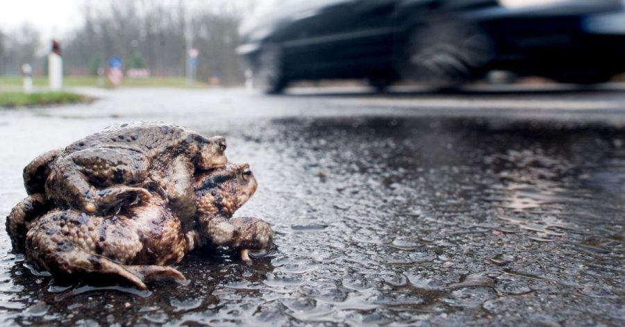 Riskantes Tandem: Gehen paarungsbereite Kröten auf Wanderschaft, droht ihnen auf so mancher Straße ein jähes Ende.