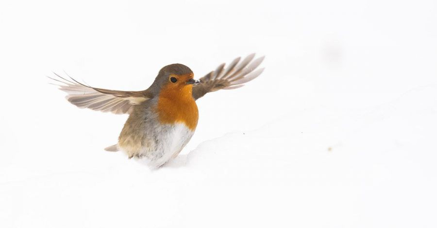 Ein Rotkehlchen sucht im Schnee nach Futter.