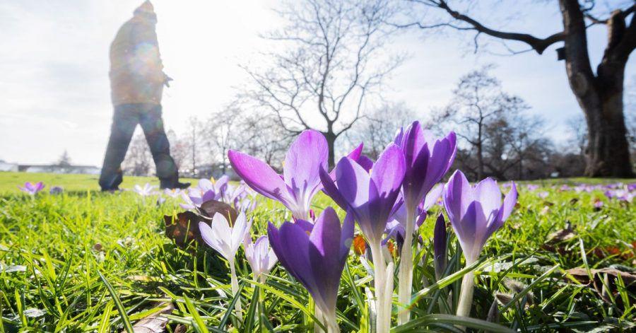 Krokusse im Berggarten an den Herrenhäuser Gärten in Hannover