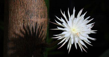 Die aufgeblühte «Mondblume» im Botanischen Garten der Universität Cambridge.
