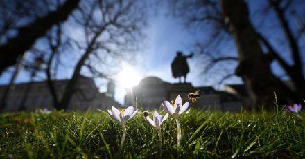 Bienen nehmen Anflug auf blühende Krokusse auf einem Grünstreifen in München.