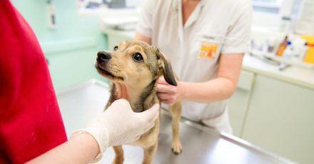 Klappt beim ersten Tierarztbesuch alles reibungslos, geht der Hund auch später bereitwillig hin.