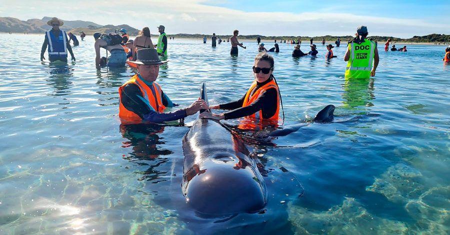 Mehr als 20 Grindwale sind nach einer zweiten Strandung vor Neuseeland wieder in tiefere Gewässer gebracht worden.