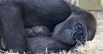 Gorilla-Mutter Bibi passt auf ihr Kleines auf.