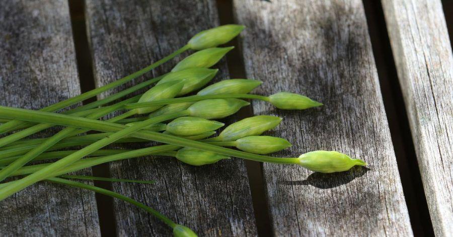 Die noch geschlossenen Bärlauch-Blüten verwendet Bärlauch-Köchin Stefanie Klein als Einlage für eine Rahm-Weißwein-Soße. Oder sie legt die Knospen als «falsche Kapern» in Weißwein ein, um sie auch außerhalb der Saison zu verwenden.