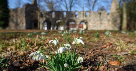 Schneeglöckchen blühen vor der Ruine der Kirche Unser Lieben Frauen in Zeppernick (Sachsen-Anhalt). Mit den milden Temperaturen findet in der Natur im Jerichower Land gerade ein Frühlingserwachen statt.