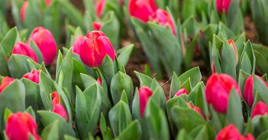 Tulpen und andere Blumenzwiebeln brauchen Nährstoffe für eine prächtige Blüte.